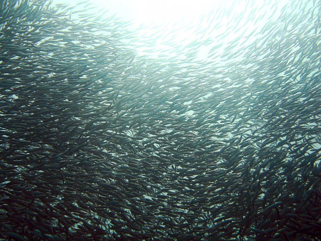 The figure for sardines (sardinops melanostictus) declined as well, from 194,000 tons in 1987 to 2,900 tons in 2015. (image: Wikimedia)