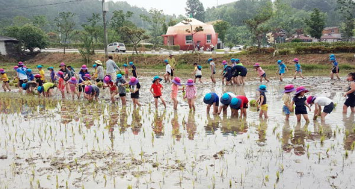 A total of 62 elementary school students participated in a rice-planting event at the 3,300-square-meter paddy on Monday in a bid to create a future habitat for crested ibis. (image: Changnyeong County)