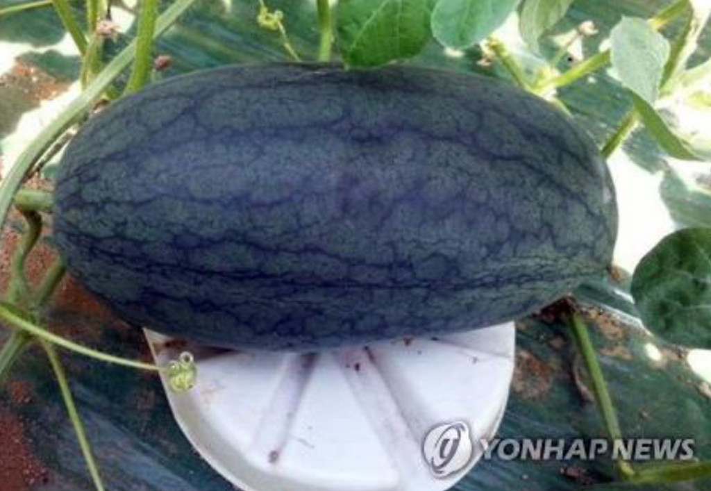 Last month, Gochang County released what it calls a 'royal black mango watermelon' that weighs between 2 and 4kg. (image: Yonhap)