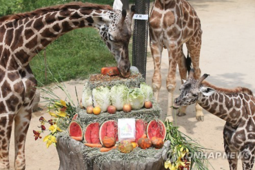 Giraffes in Korea Get a Surprise Gift for World Giraffe Day