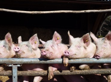 First 'Animal Welfare-Certified Pork' Launches in Korea
