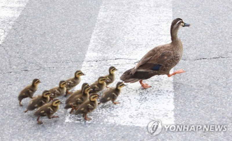 Make Way for Ducklings, Korean Style