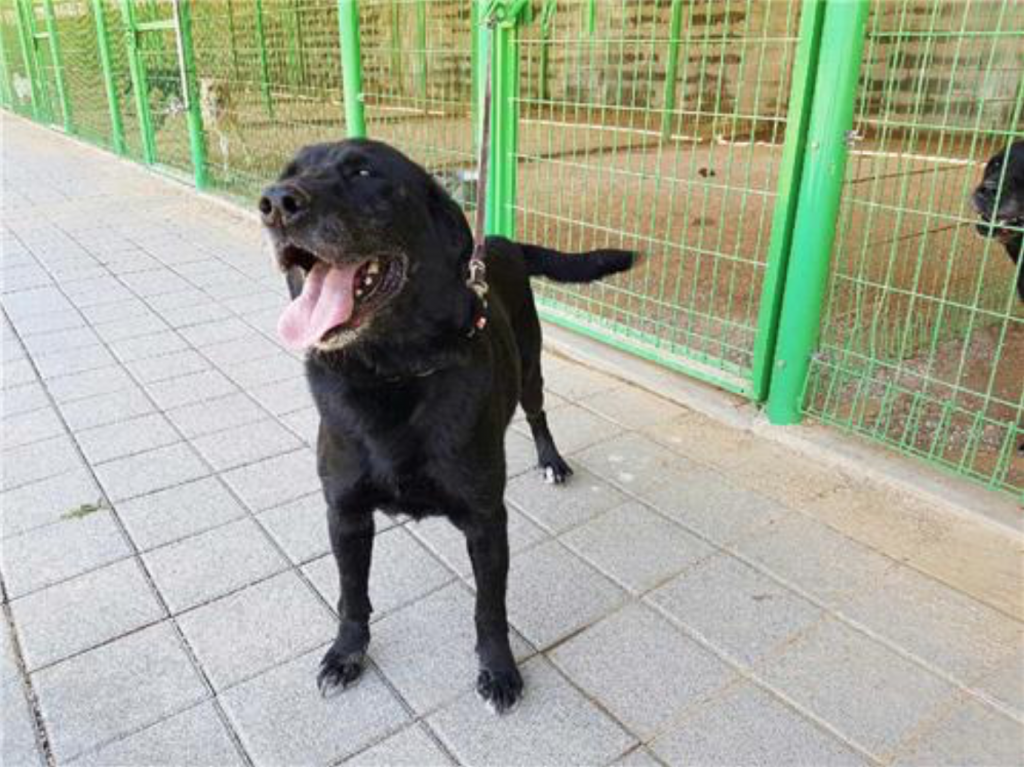 Woopy, a Labrador Retriever, served for seven years at Gimhae Airport.