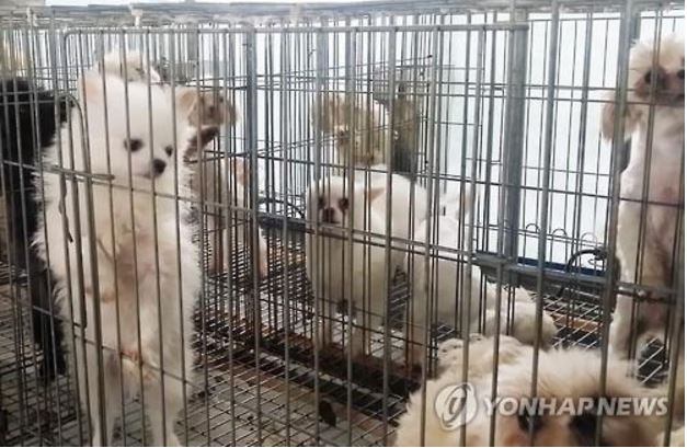 As harsh criticisms have revolved around the recent discovery of 'puppy mills' where dogs were abused with illegal drugs in unbearable living conditions, the government plans to take direct control over the operation of the pet-breeding industry by requiring all breeders or breeding mills to obtain a license to operate. (image: Yonhap)