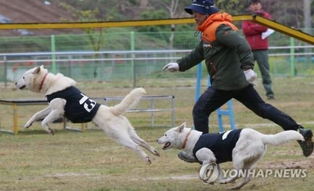 """Promoting Jindo dog racing can be a great opportunity to make Jindos better known worldwide and tout their excellent characteristics,"" said Lee Dong-jin, the governor of Jindo County. ""People will become more familiar with the dogs, and that could lead to an increase in income for Jindo breeders who train dogs for racing."" (image: Yonhap)"