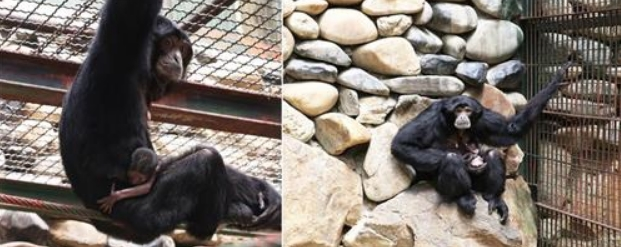 A siamang (the largest gibbon) currently living at Seoul Grand Park, gave birth to an infant on June 20. (image: Seoul Grand Park)