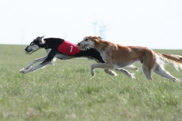 Jindo Dog Racing Boosts Breed's Appeal