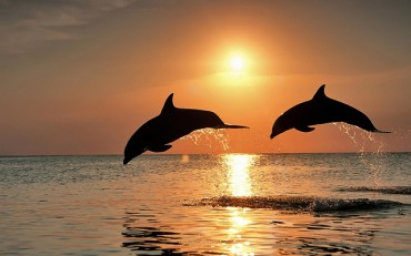 South Korean Dolphin Population Slowly Recovering