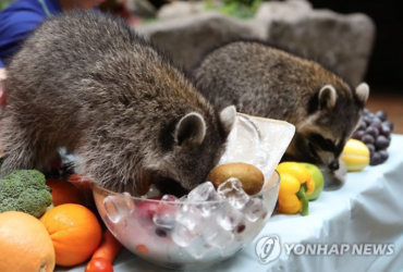 Summer Retreat for Twin Raccoons