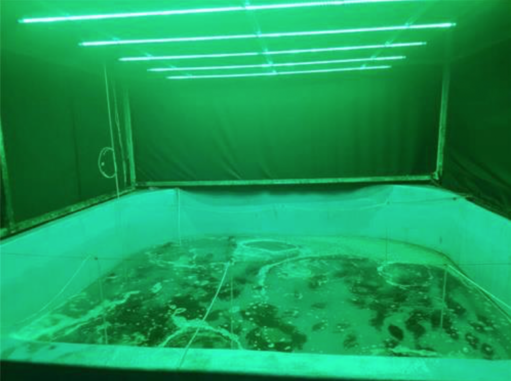 When the team shone green LED light into a flatfish farm aquarium with the water temperature raised to 30 degrees, active oxygen and lipoperoxide levels significantly decreased in flatfish. Active oxygen and lipoperoxide are internal toxic chemicals that kill cells by damaging their DNA and cellular structure. (image: Korea Maritime and Ocean University)