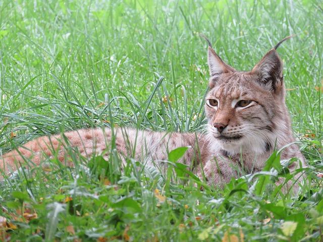 Endangered Lynx and Siamang Born at Korean Zoo