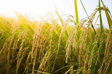 Seoul Pushes for More Urban Rice Farms