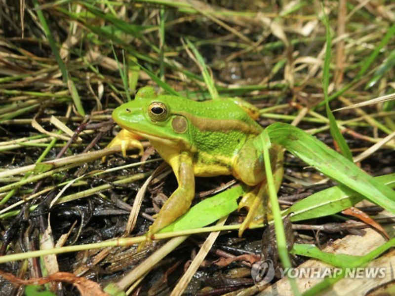 Frogs Disappear from Sejong Pond