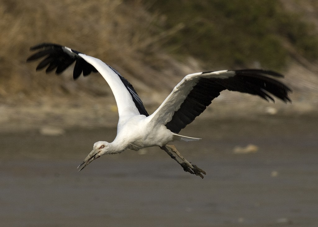 Oriental stork is designated as the 199th natural monument in Korea. (image: Wikimedia)