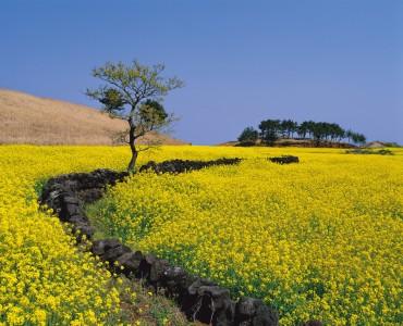 Jeju Batdam Festival Celebrates 22,000-kilometer Field Wall