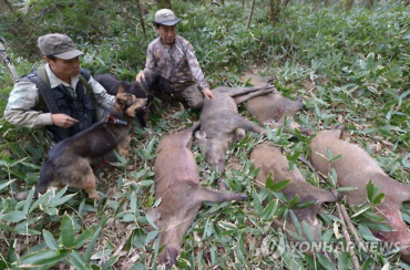 Jeju Dogs Help in Wild Boar Hunts