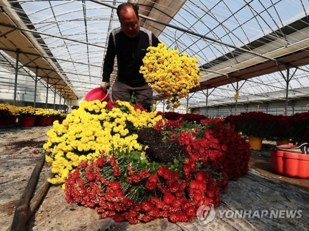 A flower grower destroys unsold chrysanthemums at a farm in Yongin, South of Seoul, on Oct. 25, 2016. (image: Yonhap)