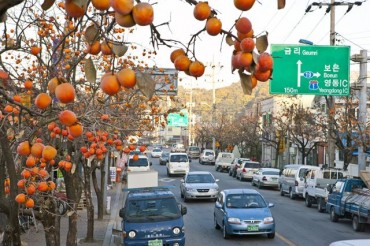 16,000 Persimmon Trees in Yeongdong Bearing Fruit