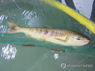 Salmon Return to Ulsan for 14th Consecutive Year