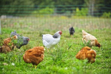 Poultry Sale Relatively Stable despite AI Outbreak