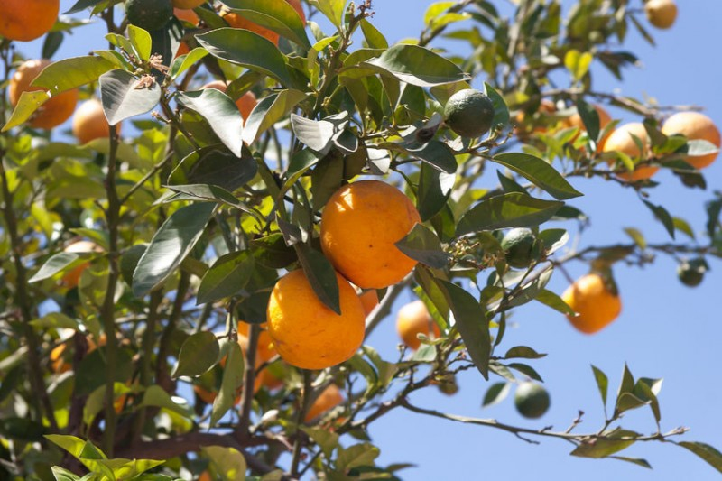 Jeju Introduces Electronic Auction for Tangerines