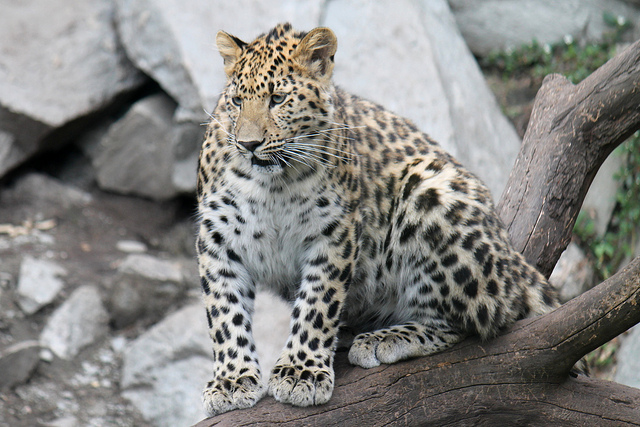 The team's research uncovered that the genome of the Amur leopard is composed of 2.57 billion base pairs, with roughly 19,000 genes. (image: Flickr/ elPadawan)