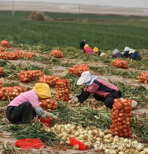 Muan county is currently building a recycling facility specific for onion by-products, which would otherwise cost 80,000 to 100,000 won ($67 - $85) per ton for disposal. (image: Yonhap)