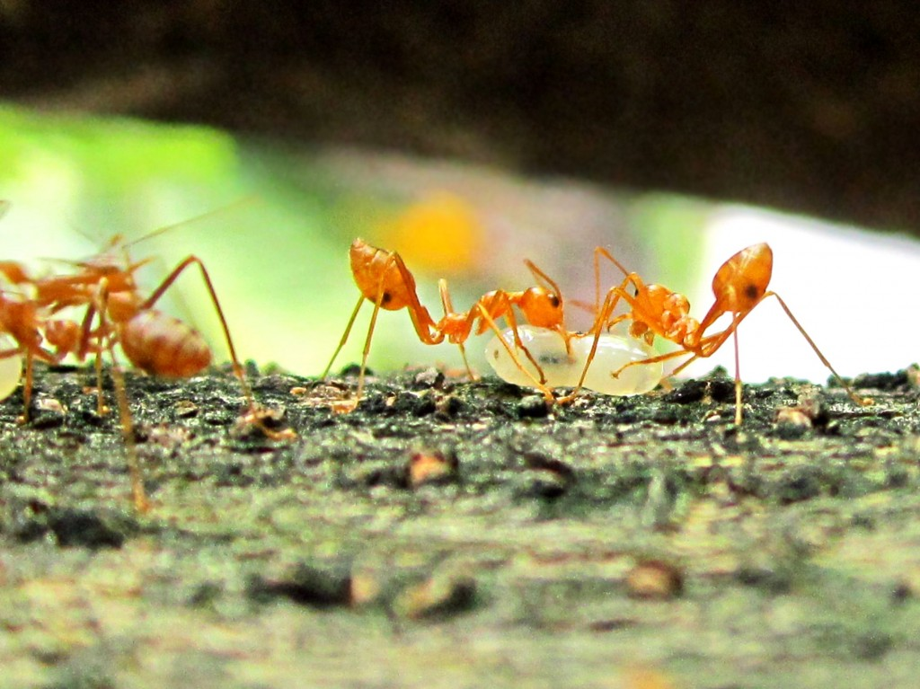 Currently, ant species are most diverse at 263 meters above sea level. The figure, however, is increasing by 4.9 meters each year. (image: Wikimedia)