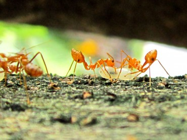 Global Warming Pushes Ants to Higher Elevations: Study