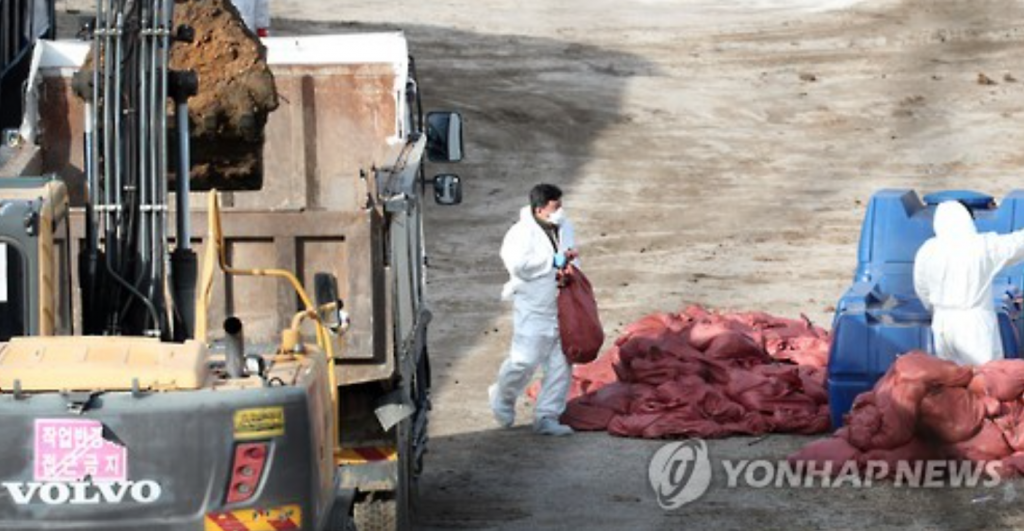 Quarantine officials slaughter chickens at a farm in Yangsan, about 420 kilometers southeast of Seoul, on Dec. 25, 2016. (image: Yonhap)