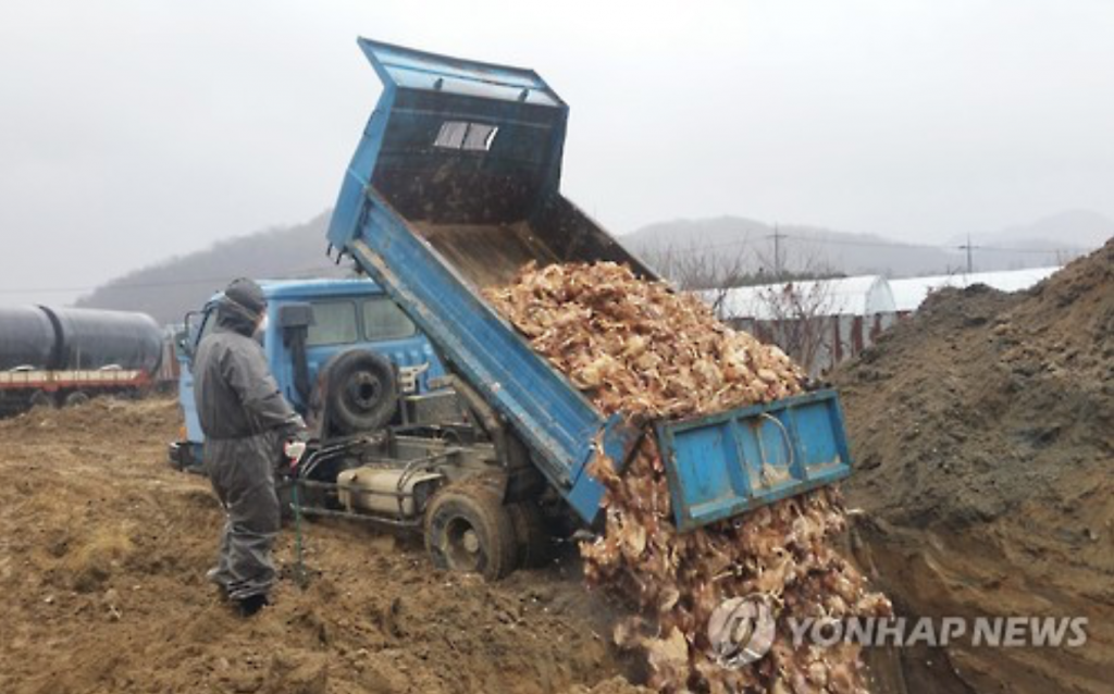 The culling process usually takes place by sealing up a poultry barn, and injecting gas (i.e. carbon dioxide) or raising the internal temperature. If the birds survive the first attempt, the same process is repeated. The birds that fail to succumb to the initial culling procedures end up being buried alive. (image: Yonhap)