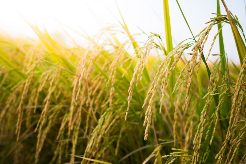 S. Korea's Per-Person Rice Consumption Hits Fresh Low in 2016