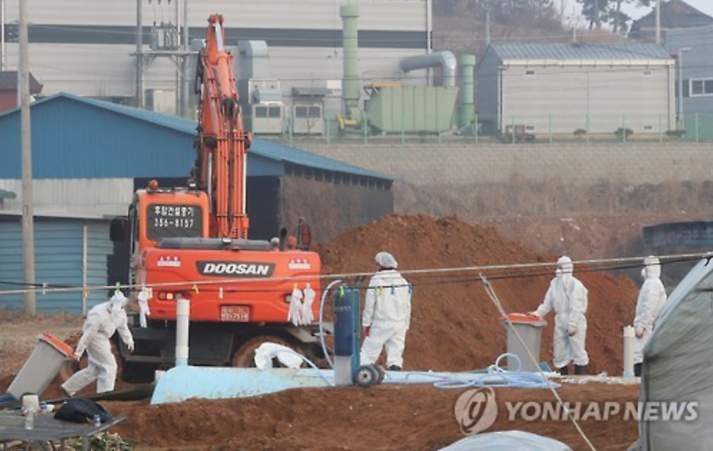 South Korea had culled over 32 million poultry across the country, making the latest outbreak one of the worst crisis ever suffered by the agricultural industry. (image: Yonhap)