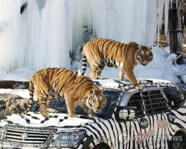 "Everland Zoo Offers ""Snow Safari"" Adventure"