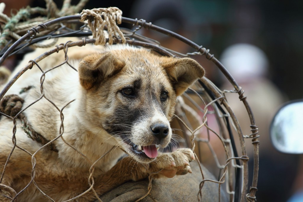 Currently, the 22 dealers selling (and occasionally purchasing from pet owners) dogs for food purposes, or operating their own in-house butchering facilities, are responsible for distributing 80,000 dogs – dead or alive – each year. (image: KobizMedia/ Korea Bizwire)