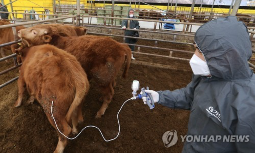 Cows are vaccinated against foot-and-mouth disease at a farm in Goesan County on February 8. (image: Yonhap)