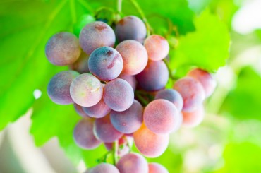 South Korean Grape Farms Under Threat From Trade Deals