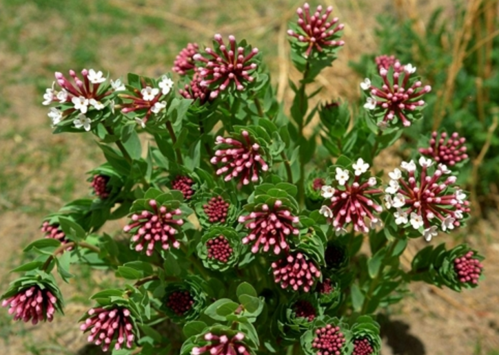 """""""Stellera chamaejasme has been used as a folk remedy for a long time. Through this study, we raised the possibility of commercializing the herb for cosmetic and medicinal products,"""" said researcher Roh."""