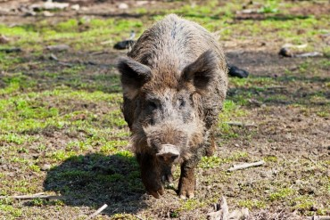 Hungry Wild Boars Terrorize City Residents