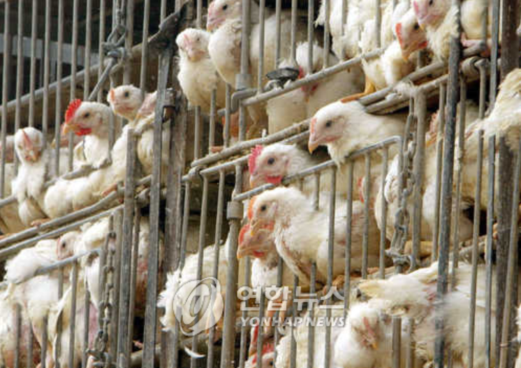 The government's recent move to encourage bigger cages in order to prevent another avian influenza from spreading on a massive scale like the one which transpired last November is being met with a lukewarm reception and skepticism among critics over the lax nature of the newly introduced rules. (Image courtesy of Yonhap)