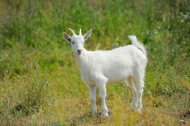 National Park Service Uses Drones to Capture Destructive Goats
