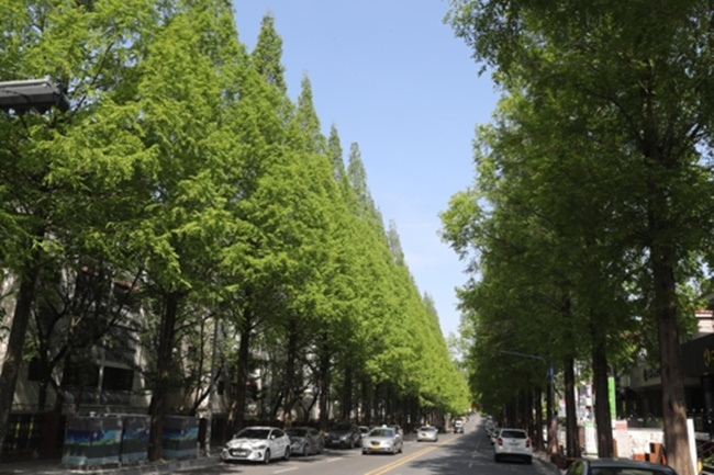 Dawn Redwood Trees to Disappear from Korean Streets After Complaints