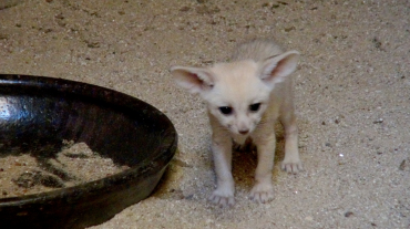 Smuggled Fennec Fox Gives Birth to Three Cubs