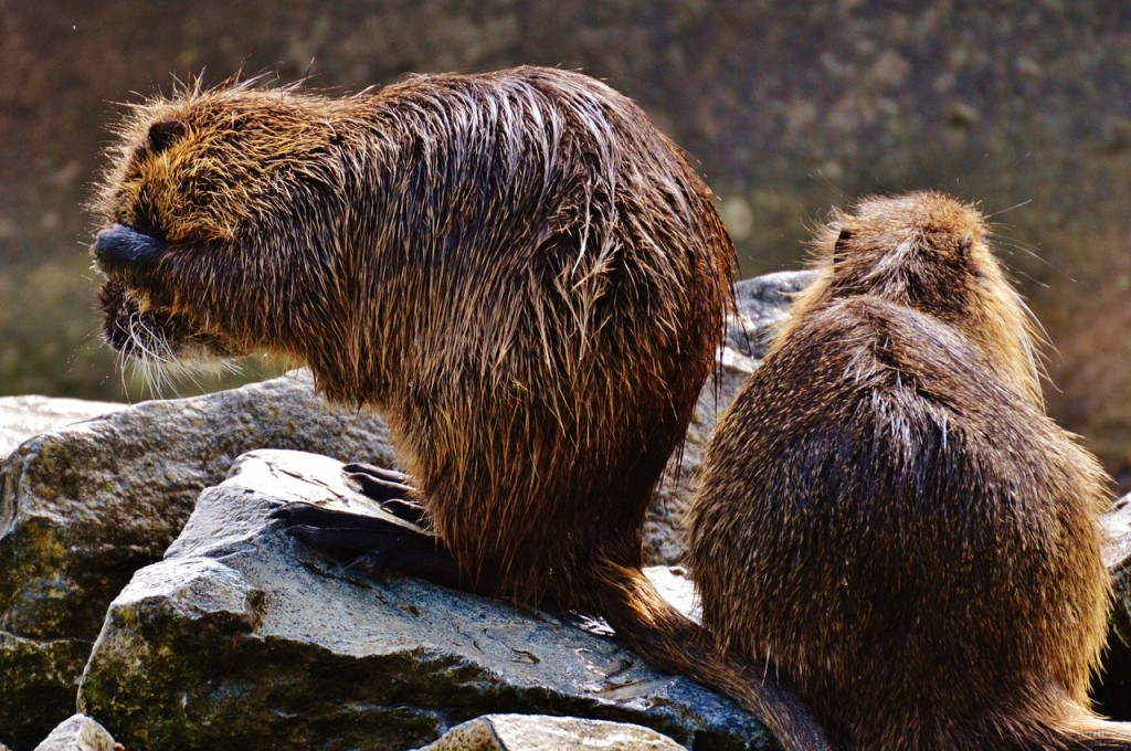 The government will purchase each nutria for 20,000 won. (image: Pixabay)