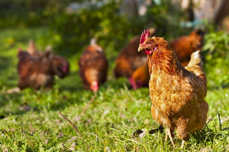 Gyeonggi Province in Talks to Open Humane Poultry Farms to Curb Avian Influenza