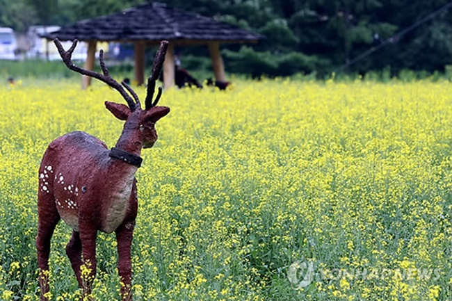 Marking its sixth year, Taebaek's rapeseed flower festival was to be held early next month for six days at Taebaek Activity Park in Gangwon Province, but the discovery of samples containing living modified organisms saw all rapeseed flowers covering an area of 8,250 square meters at the park disposed of this Tuesday. (Image: Yonhap)