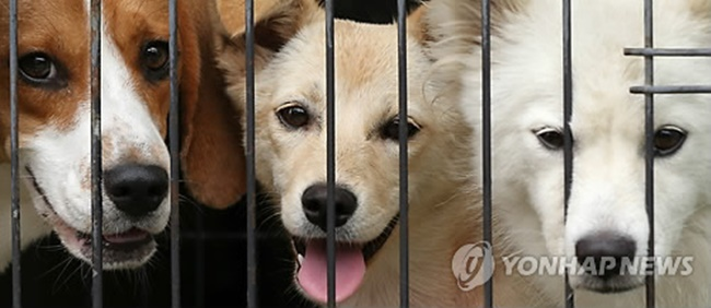 The growing number of feral dogs in South Korea is sparking a national debate on how they should be dealt with, with one municipal government going so far as to call for violent stray dogs to be labeled as harmful wild animals and exterminated, putting itself on a collision course with animal rights groups. (Image: Yonhap)