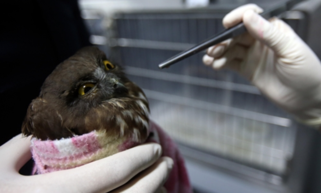 A brown hawk-owl.
