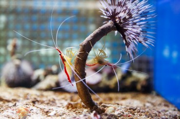 South Korean Scientists First to Breed Cleaner Shrimp