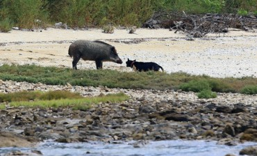 Feeding Proves Effective in Fending Off Wild Boars